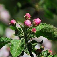 яблоня в цвету :: Татьяна Васильева