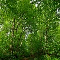 Тропинка в вечернем лесу... :: Олег .