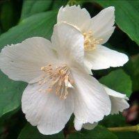 Пришла пора цветения жасмина :: Нина Корешкова