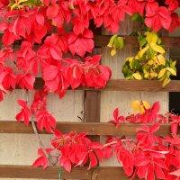 Багряные листья осени :: Николай Танаев
