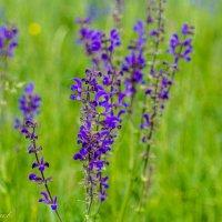 Полевые цветы :: Сергей Чернов