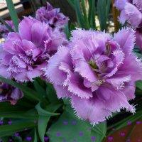 Сиреневые тюльпаны :: Nina Yudicheva