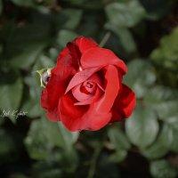 Роза :: Адель