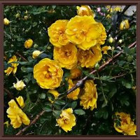 Желтые розы :: Владимир Бровко