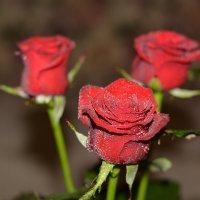 Розы :: Виктор Орехов