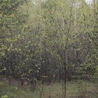 Молодая листва или после весеннего дождя :: Алексей Хвастунов