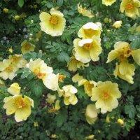 Жёлтые цветочки! :: Larisa Pachkova