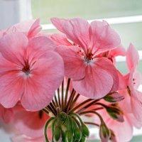 Герань (не мещанский цветок) :: Юрий Яловенко