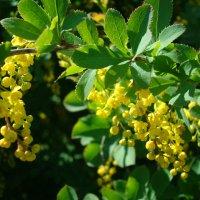 Желтый цвет бабариса :: марина ковшова