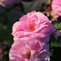 Нежные чайные розы :: Татьяна Пальчикова