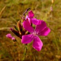 полевой аленький цветочек :: Александр Прокудин