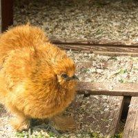 Меховой цыплёнок :: Aнна Зарубина