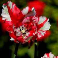 еще один тюльпан... :: navalon M