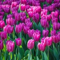 « …Тюльпан! Тюльпан! – какая прелесть! Какая нежность, стиль в цветке…» :: Андрей Нибылица