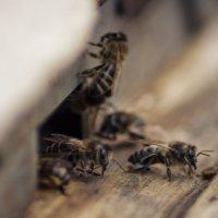 Пчёлы :: Вячеслав Болякин