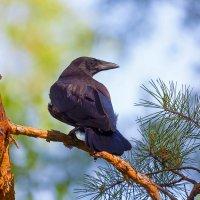 Птенец ворона :: Анатолий Иргл