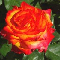 Пламенная роза... :: Тамара (st.tamara)