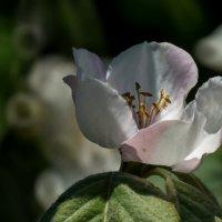 Цветок айвы :: Павел Руденко
