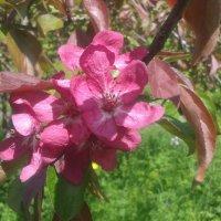 Розовая яблоня :: Сапсан