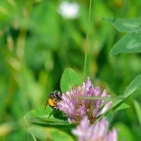 Сбор пыльцы :: Алёна Епичурина
