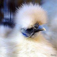 веришь не веришь-курица :: Олег Лукьянов