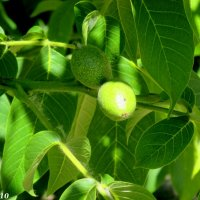 Грецкие орехи :: Нина Бутко