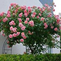 """""""Куст розы вьющейся расцвёл и душу чувством трепетным оплёл..."""" :: Galina Dzubina"""