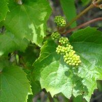 Дикий виноград и солнце :: марина ковшова