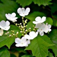 Ой цветёт калина... :: Михаил Столяров