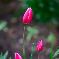 тюльпаны :: Людмила
