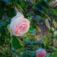 бело-розовая роза символизирует воссоединение двух любящих людей... :: Ирина ...............