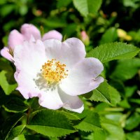 И, вдруг, так долгожданный, расцвёл шиповника цветок ! :: Валентина ツ ღ✿ღ