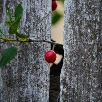 Поспели вишни в саду у дяди Вани, У дяди Вани поспели вишни... :: Татьяна Евдокимова