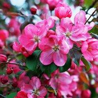Розовое цветение. :: Тамара Бучарская