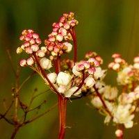 луговой цветок :: Александр Прокудин