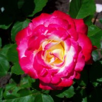 Разнообразные розы.... :: Любовь К.