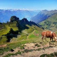 одинокая корова :: Elena Wymann