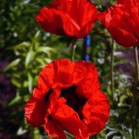 маки цветут :: Любовь Потравных