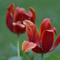 июньские тюльпаны :: Andrei Antipin