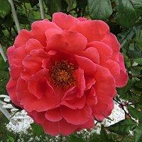 Застрявший цветок в металле решётки :: Валерий Дворников