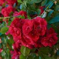 розы :: Sergej