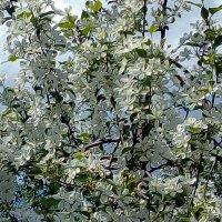 Цветение яблонь :: Ivanova