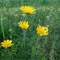 Полевые цветы... :: Galina Dzubina