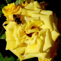 На завтрак нектар розы... :: Тамара (st.tamara)