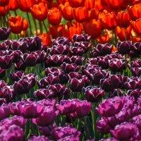 """""""Разноцветные словно радуга , Красотой своей сердце радуя..."""" :: Андрей Нибылица"""