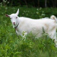 Кокетливая коза. :: Владимир Безбородов