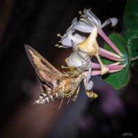 Бражник у цветка жимолости :: Владимир Шамота