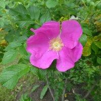 Первый цветок шиповника :: Наиля