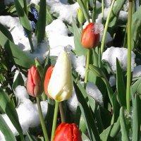 Снег в мае... :: Валюша Черкасова