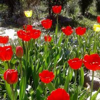 Несмотря на снег, цвели всё равно тюльпаны... :: Валюша Черкасова